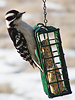 Downy Woodpecker on Suet