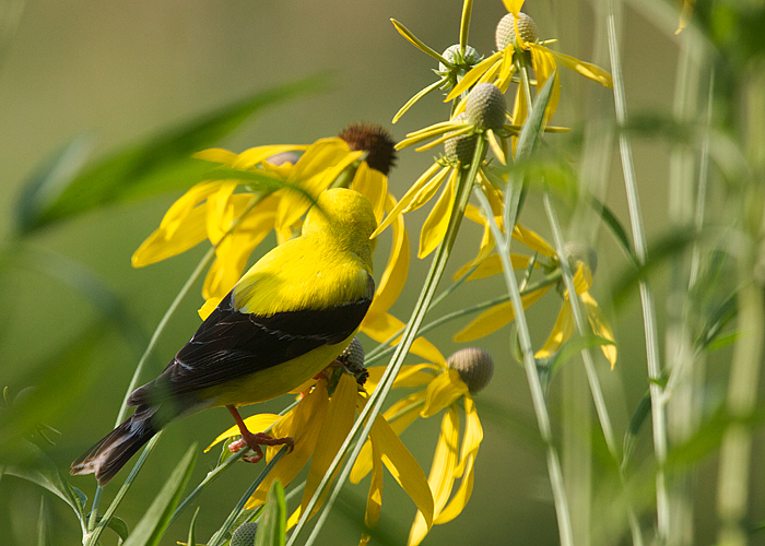 American Goldfinch and Coneflowers