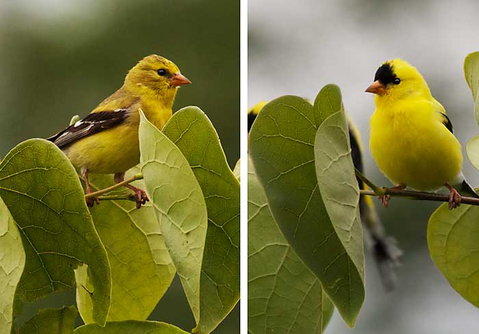 American Goldfinches