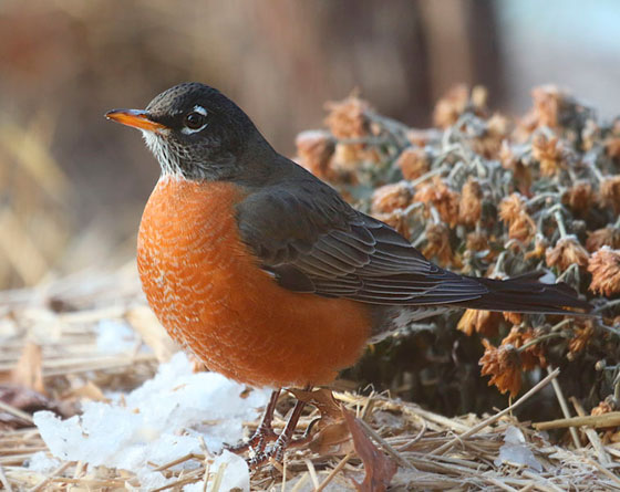 American Robin's New Coat