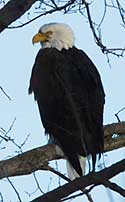 While Bald Eagles Mainly Eat Fish And Are Excellent At Catching Them They Sometimes Run Into Problems