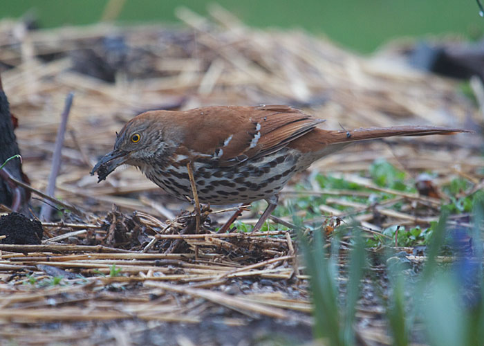 Brown Thrasher Gobbles Dirt