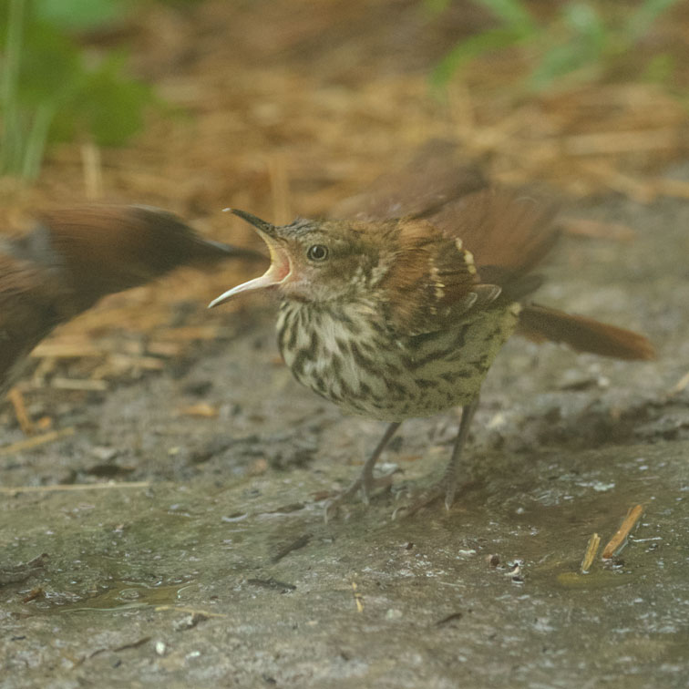 Brown Thrasher Feeding