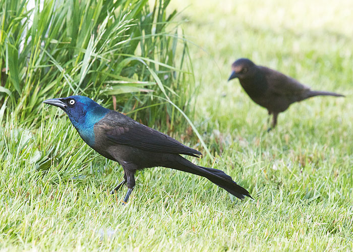 female common grackle. Common Grackles
