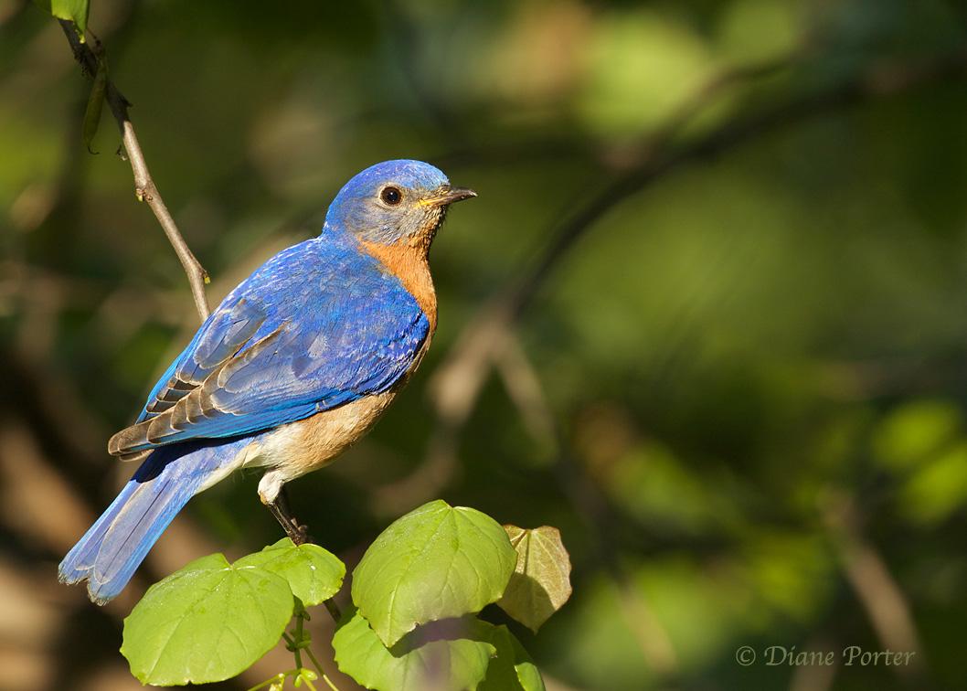 Bluebirds And Feeding Their Babies