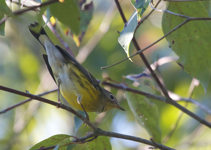 magnolia warbler fall - photo #21