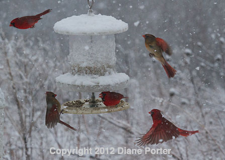 Cardinals and All Weather Feeder