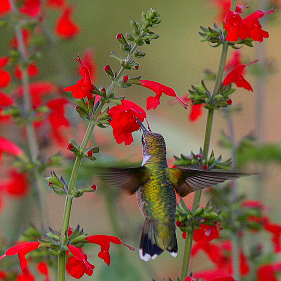 Ruby-throated Hummingbird at Red Sage