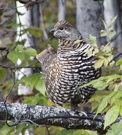 Spruce Grouse by Chuck Henry